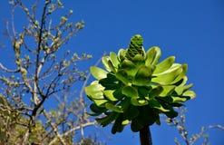 Aeonium géant et ciel bleu Photographie stock