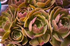 Aeonium Garnet Succulent Plant foto de archivo libre de regalías