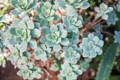 Aeonium gomerense, gefährdet Stockbilder