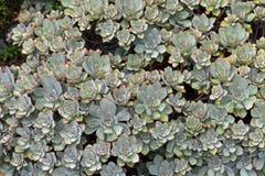 Aeonium Haworthii-Anlage in grauen Grünblättern und in rotem stacheligem Tipp g Lizenzfreie Stockfotos