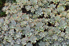 Aeonium Haworthii plant in grey green leaves and red spiky tip g Royalty Free Stock Photos