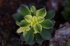 Aeonium kiwi succulent. Close up of aeonium kiwi succulent plant Stock Photos