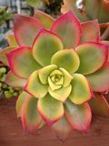 Aeonium kiwi Tłustoszowata roślina zamknięta w górę geometrii rośliny czerwieni na rimmed zielonych woskowatych liście obrazy royalty free