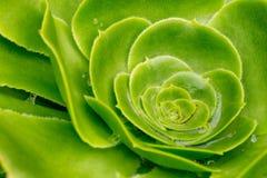 Aeonium las Canarias de Crasullaceae - el terciopelo gigante subió Imagenes de archivo