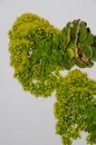 Aeonium manriqueorum Lizenzfreie Stockfotografie