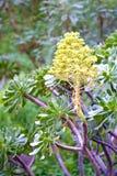 Aeonium manriqueorum Stockfoto