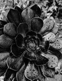 Aeonium negro del árbol con las gotas de agua Imagenes de archivo