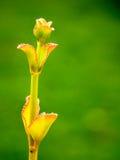 Aeonium op groene achtergrond Royalty-vrije Stock Afbeeldingen