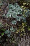 Aeonium percarneum Stockfoto