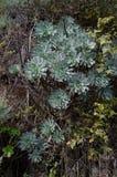 Aeonium percarneum Lizenzfreie Stockfotos