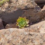 Aeonium percarneum Stockfotografie