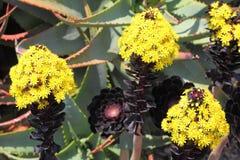 Aeonium Rosa preta na flor Foto de Stock