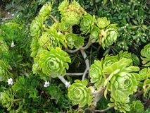 Aeonium. An aeonium shrub of the Crassulaceae family among other tropical plants Stock Photography