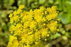 Aeonium spathulatum Lizenzfreies Stockbild