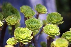 Aeonium succulent background Royalty Free Stock Images