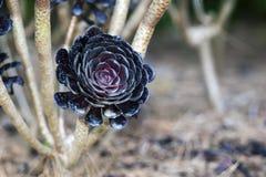 Aeonium succulent background Stock Photo