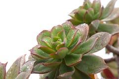 Aeonium suculento mojado Fotografía de archivo libre de regalías