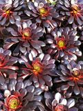 Aeonium sukulent zdjęcia royalty free