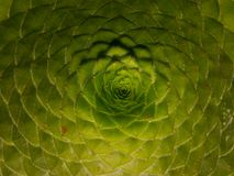 Aeonium tabiliforme, succulent plant, fibonacci sequence Royalty Free Stock Photo