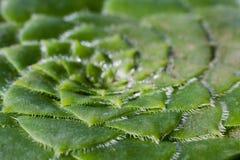 Aeonium tabuliforme Succulentblätter Lizenzfreies Stockbild