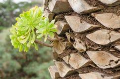 Aeonium, typisch vom Boden der Kanarischen Inseln Lizenzfreies Stockfoto