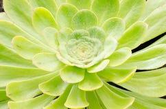 Aeonium, typische Blume der Kanarischen Inseln Stockfoto