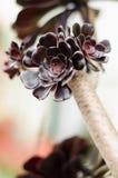Aeonium, typische Blume der Kanarischen Inseln Stockbilder