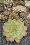 Aeonium, typische Blume der Kanarischen Inseln (EL Hierro) Stockfotografie