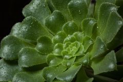 Aeonium undulatum Succulent. Close-up of green succulent plant with drops of water on the leaves. Horizontally framed stock photography