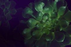 Aeonium undulatum Succulent Nahaufnahme der grünen saftigen Anlage mit Wassertropfen auf den Blättern Schwarzer Hintergrund Stockfotografie