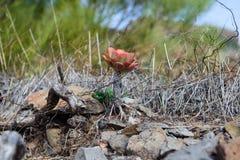 Aeonium urbicum Lizenzfreie Stockbilder