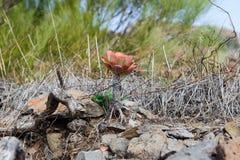 Aeonium urbicum stock images