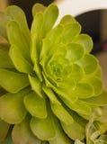 Aeonium urbicum succulent leaves. Close up of the leaves on an aeonium urbicum succulent plant Stock Image