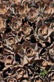 Aeonium valverdense. stock photo
