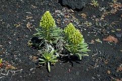 Aeonium vestitum Succulentanlage Lizenzfreie Stockfotografie