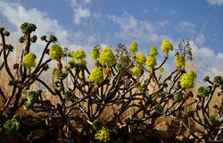 Aeonium in voller Blüte Stockbilder
