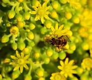 Aeonium y abeja Fotografía de archivo libre de regalías