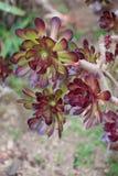 Aeoniumanlage (Lat Aeonium) Stockfoto