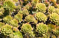 Aeoniumarboreum Arkivfoto
