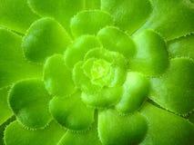 Aeoniumbaum, Grünblätter Lizenzfreie Stockbilder