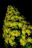 Aeoniumblomma mot svart bakgrund Royaltyfri Fotografi