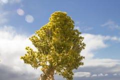 Aeoniumblume Stockbild