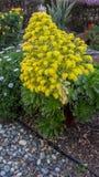 Aeoniumblume in Garten whith andere Anlagen Lizenzfreie Stockfotos