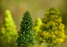 Aeoniumblumen Stockfoto