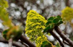 Aeoniumblumen, Kanarische Inseln Stockfotografie