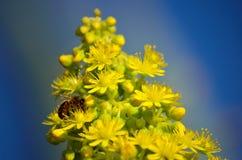 Aeoniumblumen und kleine Biene Lizenzfreies Stockfoto