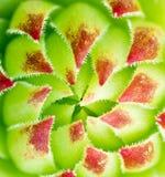 Aeoniumblumenblätter Stockfotografie