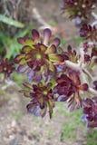 Aeoniuminstallatie (lat Aeonium) royalty-vrije stock fotografie