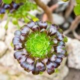 Aeoniuminstallatie van familie Crassulaceae Royalty-vrije Stock Foto