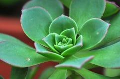 Aeoniumspezies Lizenzfreies Stockbild